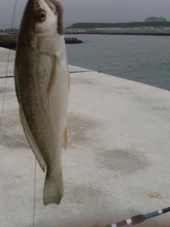 亘理 鳥の海 イシモチ爆釣2008年7月